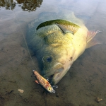 Yellow Belly Caught on the 5cm Five-O Minnow