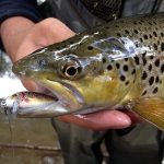 Brown Trout hooked on the Brown Trout