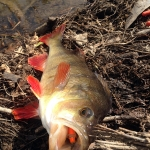 Redfin Love the Bullet Minnow