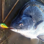 Silver perch caught on Fire Tiger